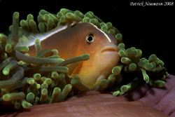 FULL FRAME Anemonefish taken whilest sunsetdive at Koh Ha... by Patrick Neumann 
